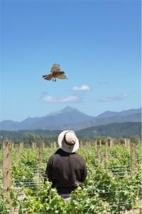 New Zealand Native Falcon on the Vineyard Tour